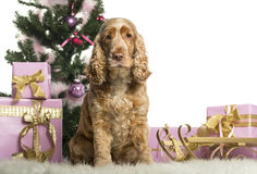 English Cocker Spaniel sitting in front of Christmas decorations Royalty Free Stock Image