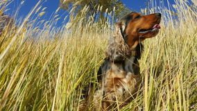English cocker spaniel sitting in grasses Stock Images