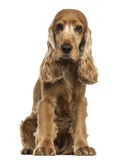 English Cocker Spaniel sitting, looking at the camera, isolated Stock Photo