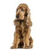 English Cocker Spaniel sitting, looking distrustful, isolated Stock Photos