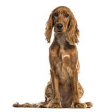 English Cocker Spaniel sitting (7 months old) Stock Photography