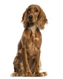 English Cocker Spaniel sitting (7 months old) Royalty Free Stock Photography