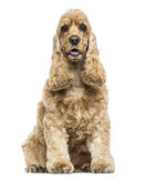 English Cocker Spaniel sitting, panting, isolated Stock Image