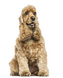 English Cocker Spaniel sitting, panting, isolated. On white Royalty Free Stock Photography