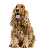 English Cocker Spaniel sitting, panting, 6 years old Royalty Free Stock Photos