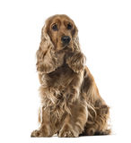 English Cocker Spaniel sitting, 2 years old stock photography