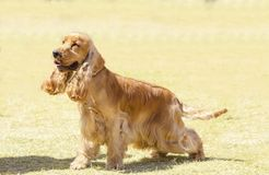 English Cocker Spaniel. A small, young beautiful fawn, red English Cocker Spaniel dog walking on the grass, with its coat clipped into a show cut, looking very royalty free stock photos