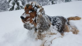 English cocker spaniel in snow. Adult english cocker spaniel dog covered in snow stock photos
