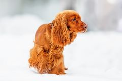 English Cocker Spaniel. On snowy ground shallow dof stock photos