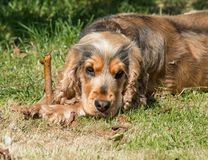 English Cocker Spaniel with Stick royalty free stock images