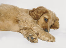 English Cocker Spaniel. Very cute playful puppy English Cocker Spaniel stock image