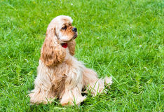 English Cocker Spaniel waits. Royalty Free Stock Photo