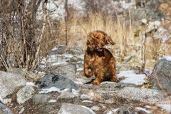 English Cocker Spaniel. For a walk in the mountains royalty free stock images