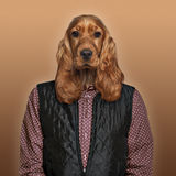 English Cocker spaniel wearing a shirt and jacket, colored backg Stock Photography