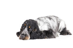 English cocker spaniel. On a white background stock images
