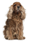 English Cocker Spaniel with windblown hair Stock Photos