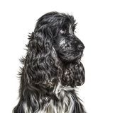 English Cocker Spaniel , 4, 5 years old. Against white background stock images