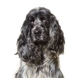 English Cocker Spaniel , 4, 5 years old. Against white background stock image