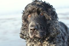 English Cocker Spaniels on the beach. A blue roan English Cocker Spaniel head shot.  Light blue bokeh background Stock Photos