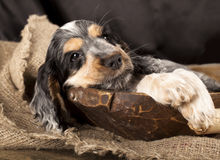 English cocker spaniels Puppies Royalty Free Stock Image