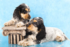 English cocker spaniels Puppies Stock Images