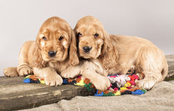 English cocker spaniels Puppies Royalty Free Stock Photography