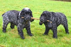English Cocker Spaniels tug of war. Two blue roan English Cocker Spaniels having a tug of war with a stick on a grassy green background Royalty Free Stock Photography