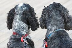 English Cocker Spaniels. Two blue roan English Cocker Spaniels looking for their owner Stock Photo