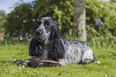 English Cocker Spanniel on the green grass. A young female black and white English Cocker Spanniel lying on the green grass on a sunny summer's day Royalty Free Stock Images