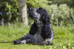 English Cocker Spanniel on the green grass. A young female black and white English Cocker Spanniel lying on the green grass on a sunny summer's day Royalty Free Stock Photography