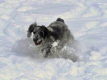 English Cocker takes pleasure in freshly fallen snow Royalty Free Stock Image