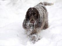 English Cocker takes pleasure in freshly fallen snow Stock Images