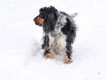 English Cocker takes pleasure in freshly fallen snow Stock Photography