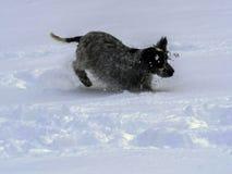 English Cocker takes pleasure in freshly fallen snow Stock Image