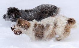 English Cocker takes pleasure in freshly fallen snow Stock Photos