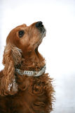 English coker-spaniel Royalty Free Stock Photography