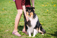English Collie Sitting At Feet Of Owner In Green Summer Grass. Stock Photo