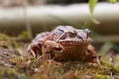 English common Toad Royalty Free Stock Photography