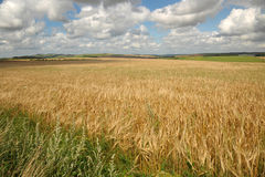 English cornfields Stock Images
