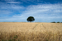 English Countryside. Typical English Countryside with Tree stock photography