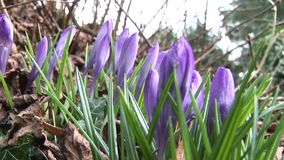 English countryside crocus in leaf litter. Traditional English countryside crocus growing in winter stock video
