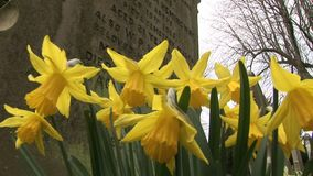 English countryside daffodils by grave stone. Traditional english countryside with daffodils growing by grave stock video footage