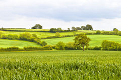 English countryside fields and meadows. Green wheat fields separated by hedge lines in an English countryside on a summer cloudy day Royalty Free Stock Photography