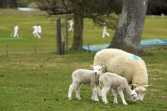 The English countryside - lambs, sheep and cricket Stock Photo