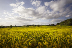 English countryside landscape. With yellow blooming rapeseed Royalty Free Stock Photo