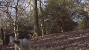 English Countryside near London. Early spring beech wood. Copy space background. Dogs running around. stock video