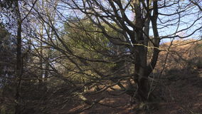 English Countryside near London. Early spring beech wood. Copy space background. Old tree with many branches. stock video