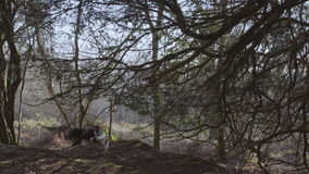 English Countryside near London. Early spring beech wood. Copy space background. Old tree and two dogs. In the forest stock video footage