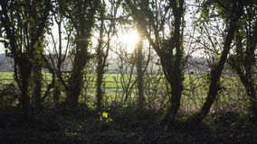 English Countryside near London. Early spring beech wood. Copy space background. Sunset lens flare through green leaves stock footage