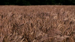 Wheat crop blowing in the wind close up. English countryside and wheat blowing in wind stock video footage